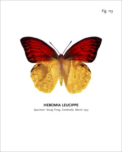 World of Butterflies-Fig 113-Peter Holst Henckel